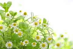 Fragrant medicinal herbs. Closeup Royalty Free Stock Images