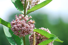 The fragrant milkweed flower plant attracting plenty of bees. Royalty Free Stock Photography