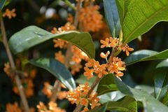 A fragrant olive Royalty Free Stock Images