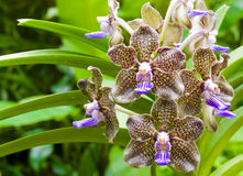 Fragrant orchid Stock Images
