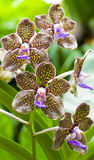 Fragrant orchid Royalty Free Stock Photography