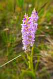 Fragrant orchid Royalty Free Stock Image