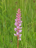 Fragrant orchid flower (Gymnadenia conopsea) Royalty Free Stock Photography