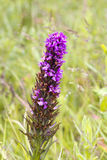 Fragrant Orchid ( Gymnadenia conopsea ) Stock Images