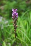 Fragrant orchid (Gymnadenia conopsea) Royalty Free Stock Image