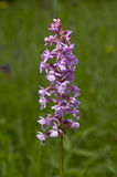 Fragrant orchid. Is a herbaceous plant,  family Orchidaceae - Gymnadenia conopsea Stock Images