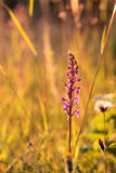 Fragrant Orchid Royalty Free Stock Photos