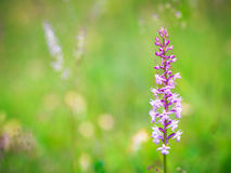 Fragrant Orchid Wildlife Stock Photos