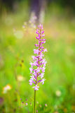 Fragrant Orchid Wildlife Stock Photography