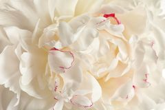 Fragrant peony as background. Beautiful spring flower. Fragrant peony as background, closeup view. Beautiful spring flower royalty free stock photography