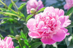 Fragrant peony Stock Images