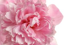 Fragrant peony on white background. Beautiful spring flower. Fragrant peony on white background, closeup view. Beautiful spring flower stock photography