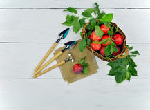 Fragrant Plum and garden tools. Village life. Work. Result. Stock Photography