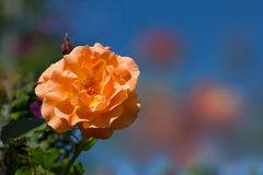 Fragrant rose in orange pastel color stock image