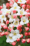 Fragrant snowball blossom Royalty Free Stock Photo