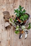 Fragrant spicy herb mint and melissa. In pot in wooden basket at board with twig blooming plum top view spring gardening stock photography