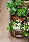 Fragrant spicy herb mint and melissa. In pot in wooden basket at board with twig blooming plum top view spring gardening royalty free stock photography