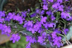 Fragrant summer flowers blue-purple lobelia growing in the garden Stock Image