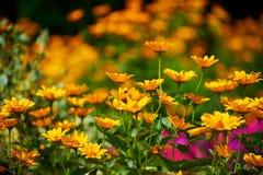 Fragrant sunny flower mix. Fragrant sunny flower garden royalty free stock photos