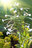 Fragrant tobacco flowers with sunlight Royalty Free Stock Images