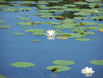 Fragrant Water Lilies. Water lilies on pond stock photography