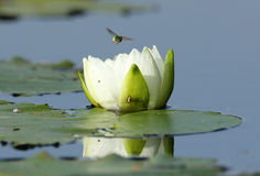 Fragrant Water Lily and Bee. Fragrant Water Lily with Pollinating Bee Flying Away - Ontario, Canada Stock Photo