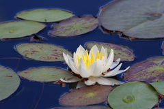 Fragrant Water Lily Flower Stock Photos