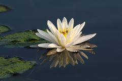 Fragrant Water Lily with Lily Pads Stock Photo