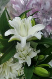Fragrant white blooming Lily bunch Royalty Free Stock Photo