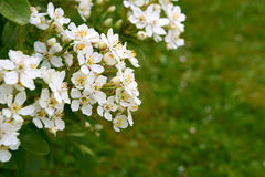 Fragrant white choisya flowers against green grass background. The shrub is also known as Mexican orange blossom or mock orange Royalty Free Stock Photography