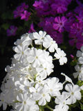 Fragrant white Phlox flower in foreground of purple phlox garden flowers. Royalty Free Stock Image