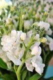 Fragrant white stock flowers Royalty Free Stock Photo