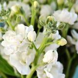 Fragrant white stock flowers Stock Image