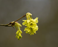 Fragrant Winter Hazel Stock Photo