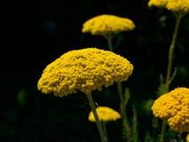 Fragrant yarrow (Achillea filipendulina). The fragrant yarrow (Achillea filipendulina) feature of gardens stock photo