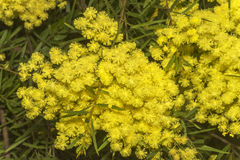 Fragrant Yellow wattle. West Australian wattle acacia species in full bloom Royalty Free Stock Photo