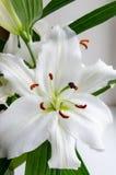 Fragrante bianco del giglio del fiore Immagine Stock Libera da Diritti