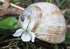 Fragranza viola (odorata della viola) e lumaca Fotografia Stock