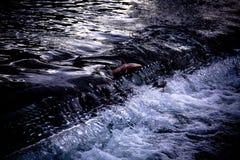 Frai des saumons Images libres de droits