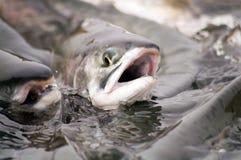 Frai des saumons Image libre de droits