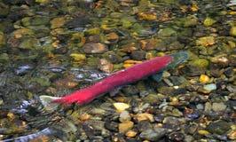 Frai des saumons de saumon rouge photo libre de droits
