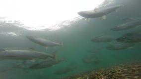 Frai des saumons de saumon rouge banque de vidéos