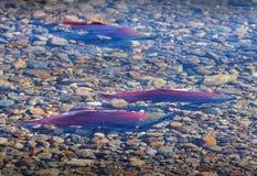 Frai des saumons de saumon rouge, rivière d'Adams photos stock
