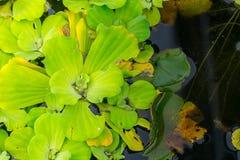 Frai - plante verte dans l'étang d'eau images stock