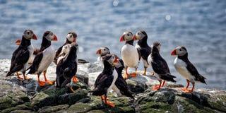 Frailecillo atlántico, arctica del Fratercula que forma a un grupo en Sea Cliff imagen de archivo libre de regalías