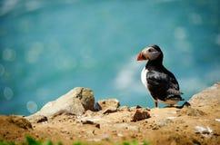 Frailecillo atlántico, solo pájaro contemplativo contra fondo del mar Imagen de archivo libre de regalías
