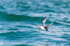 Frailecillo con los pescados en el pico Fotos de archivo