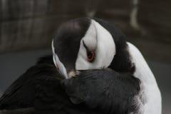 Frailecillo de cuernos en el centro de Alaska Sealife Fotografía de archivo libre de regalías