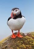 Frailecillo del pájaro - Islandia Foto de archivo