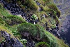 Frailecillo en Islandia imagen de archivo